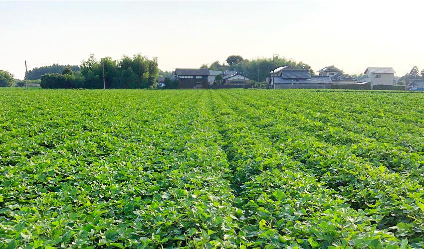 安農園のさつま芋畑